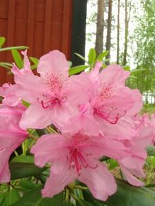 12 blühender Rododendron