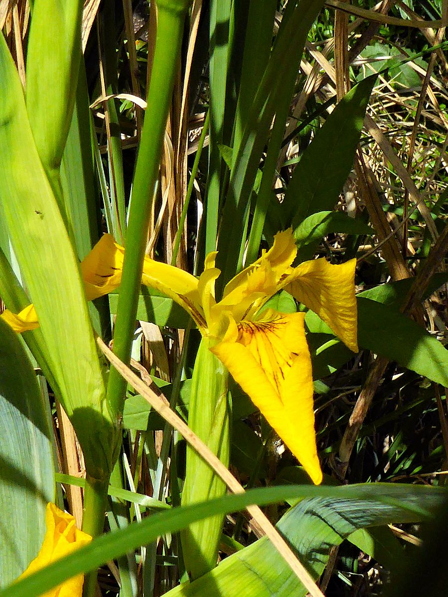 Sumpf Schwertlilie